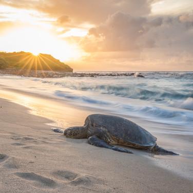 A green sea turtle resting on a Hawaiian