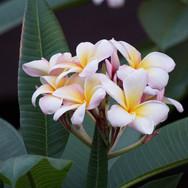 10 Hawaiian Wedding Flower.jpg