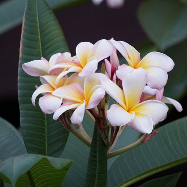 10 Hawaiian Wedding Flower.jpg