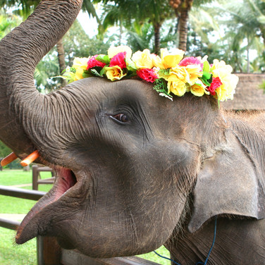 Baby Asian elephant playing with a flowe