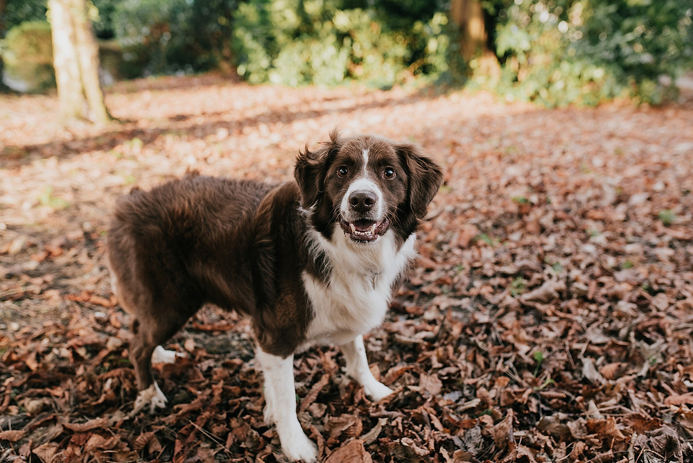 dog looking at camera with autumn leaves
