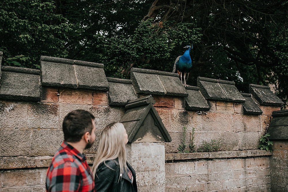 peacock and couple photograph