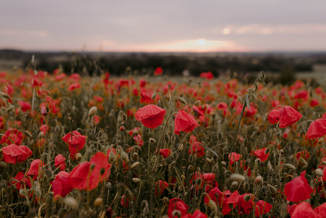 poppies at sunset in field