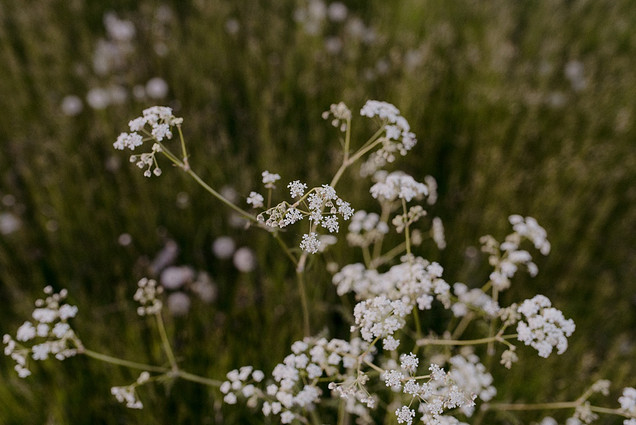 gypsophila in field