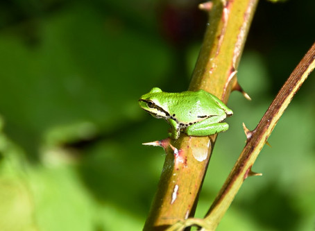 Frogs of Nisqually Wildlife Refuge