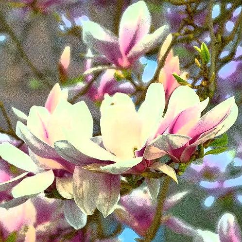 Essencia Silver Magnolia Pacifica - 380071