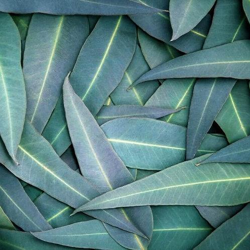 Essencia Tradicional Eucalipto- 010173