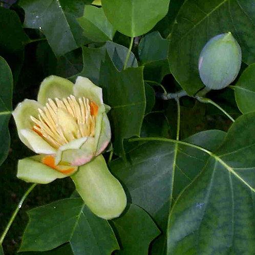 Essencia Silver Flor de Figo - 380051