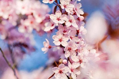 Essência Tradicional Flor de Cerejeira 010160