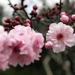 Essencia Flor de Cerejeira Locc Silver- 380060