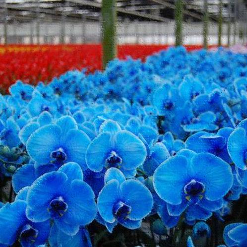 Essencia Orquidea Azul - 010125