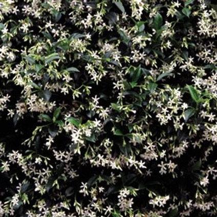 Essência Gold White Jasmine ZR - 390018