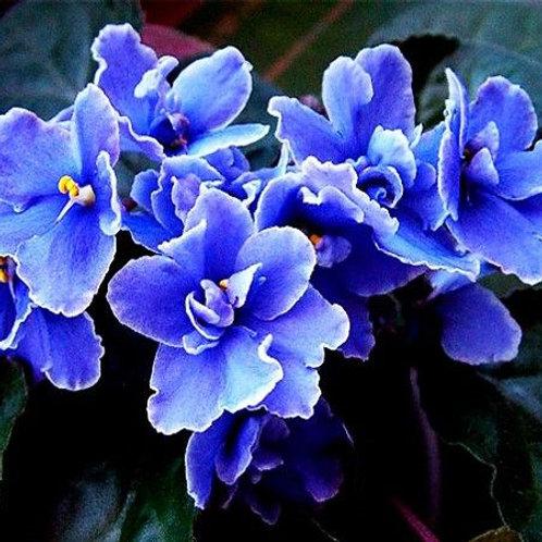 Essencia Cha Violeta Azul Silver- 380012
