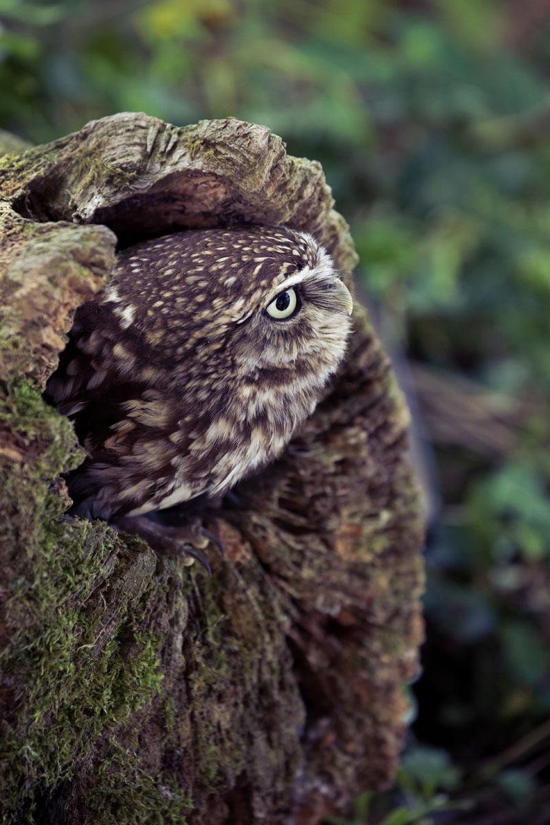 """Beanie"" Little Owl"