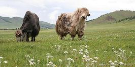 yaks-in-the-flower-field.jpg