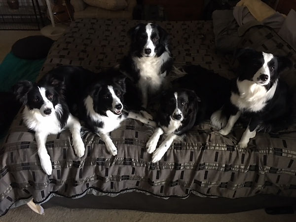 Embrace Border Collies