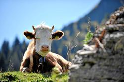 une vache originale de Simmental