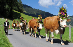 Dairy Cow Parade in September