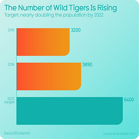 The number of wild tigers is rising