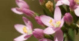 Centaury-Bach-Flowers.jpg