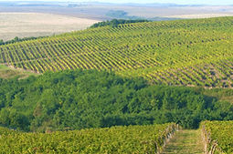 Romaina Vineyard 2.jpg