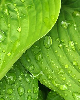 leaves-rain-green-hosta-38012.jpg