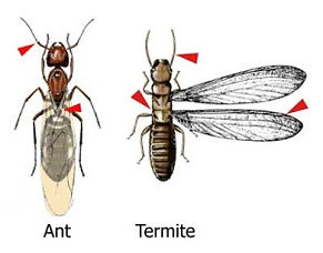 Picture of Termites or Ants
