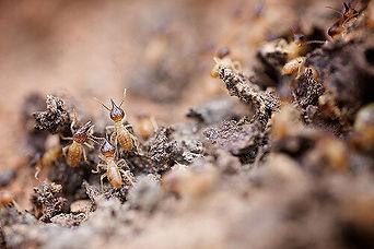 Picture of Termites