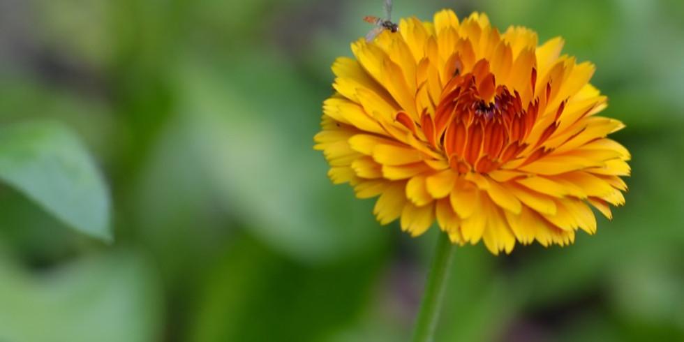 Calendula: A Skin & Spirit Soothing Herb with Shyla Earl