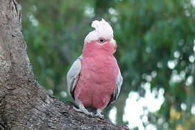 Birding Tours South Australia