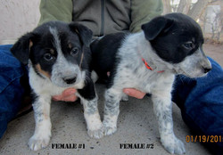 Females1-2