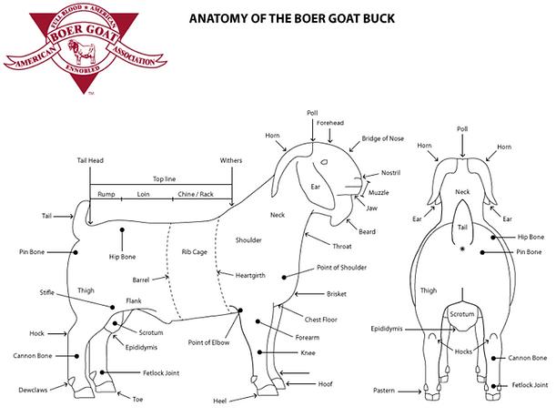 ANATOMY OF THE BOER GOAT BUCK