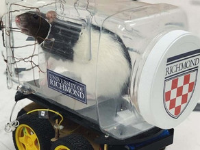 Scientists have trained rats to drive tiny cars to collect food