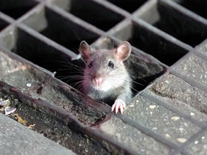 Manhattan Chipotle Forced To Close Over Rat Infestation, 4 Employees Bitten🐀
