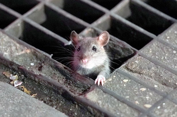 A rat coming out of a sidewalk grate in New York City.
