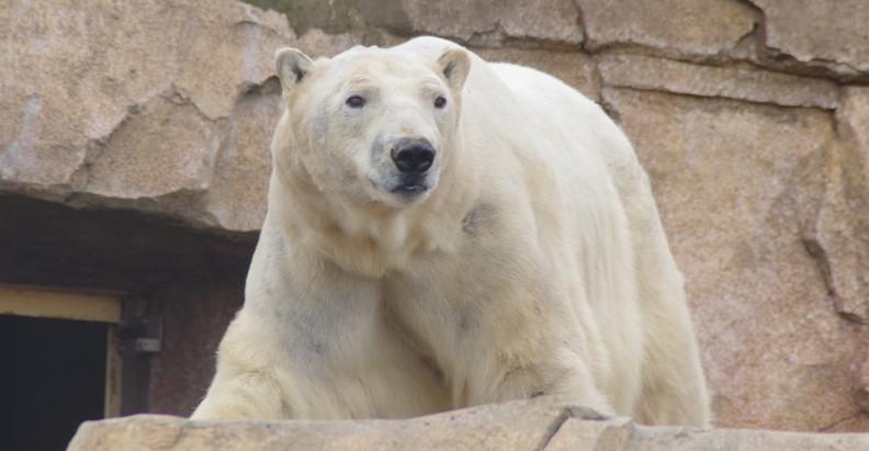 Raspoutine : l'ours Polaire qui vivait sur la côte d'azur