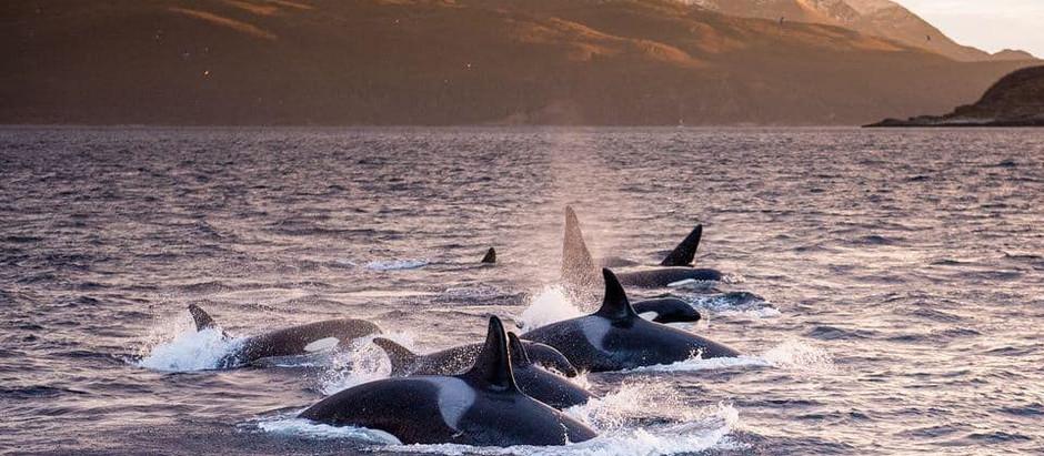 Communication avec des Orques en Liberté