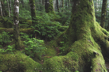 苔の森 Moss forest