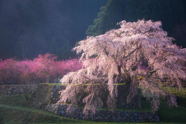 又兵衛桜 Matabe-sakura