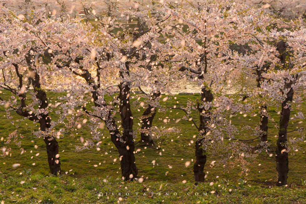 さくら Cherry Blossoms