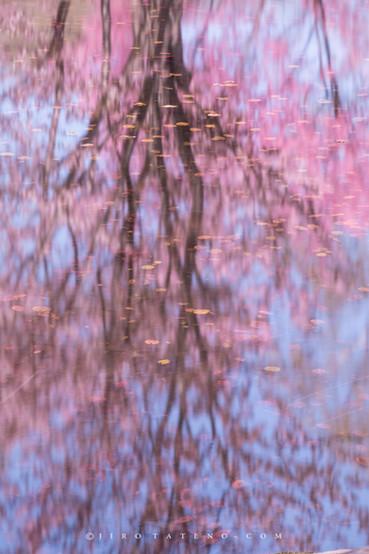 さくら Reflection