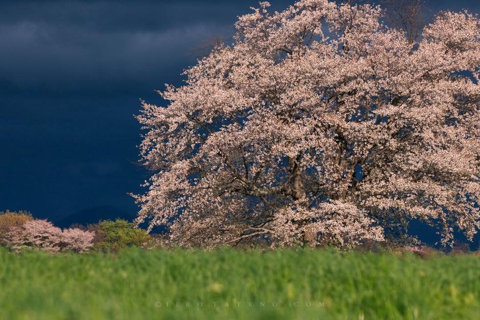 上坊牧野の一本桜 Uwabo Cherry blossom