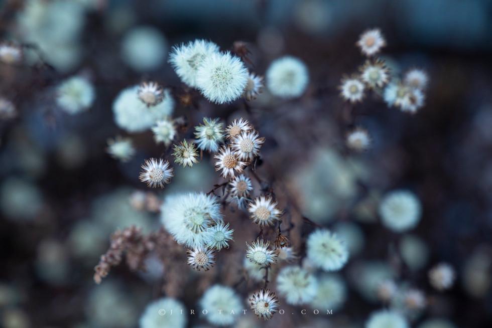 冬花 Winter Flower
