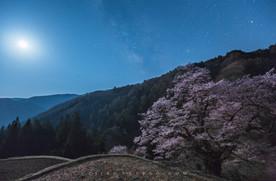 駒つなぎの桜 Cherry Blossom of Komatsunagi