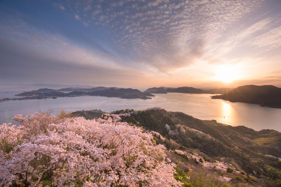 積善山三千本桜 Mt. Sekizen