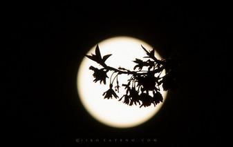 桜と月 Moon and Cherry Blossoms