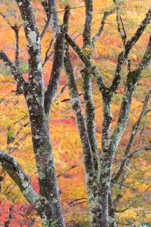 秋色の木 Autumn tree