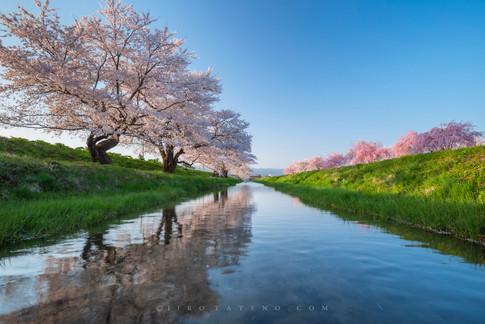 さくら並木 Cherry Blossom
