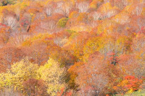 ブナ林 Beech Forest