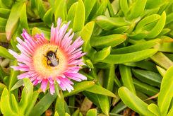 Buff-tailed Bumblebee 1761 EM.jpg
